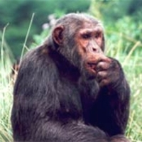 jane goodall hypothesis Predictions of high population density hypothesis infanticide occurs as high population densities  and one was documented by jane goodall.